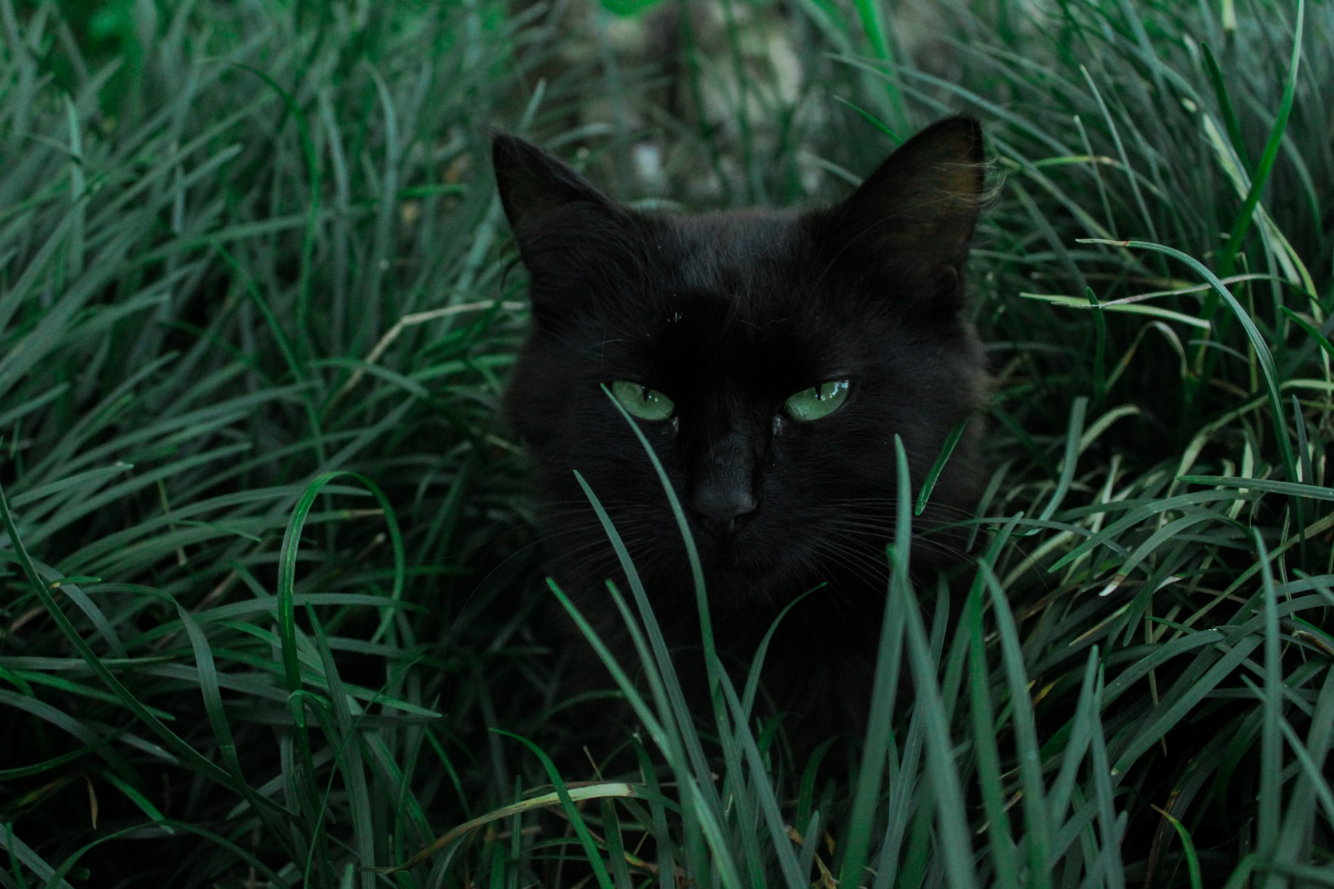 Elusive Black Cat