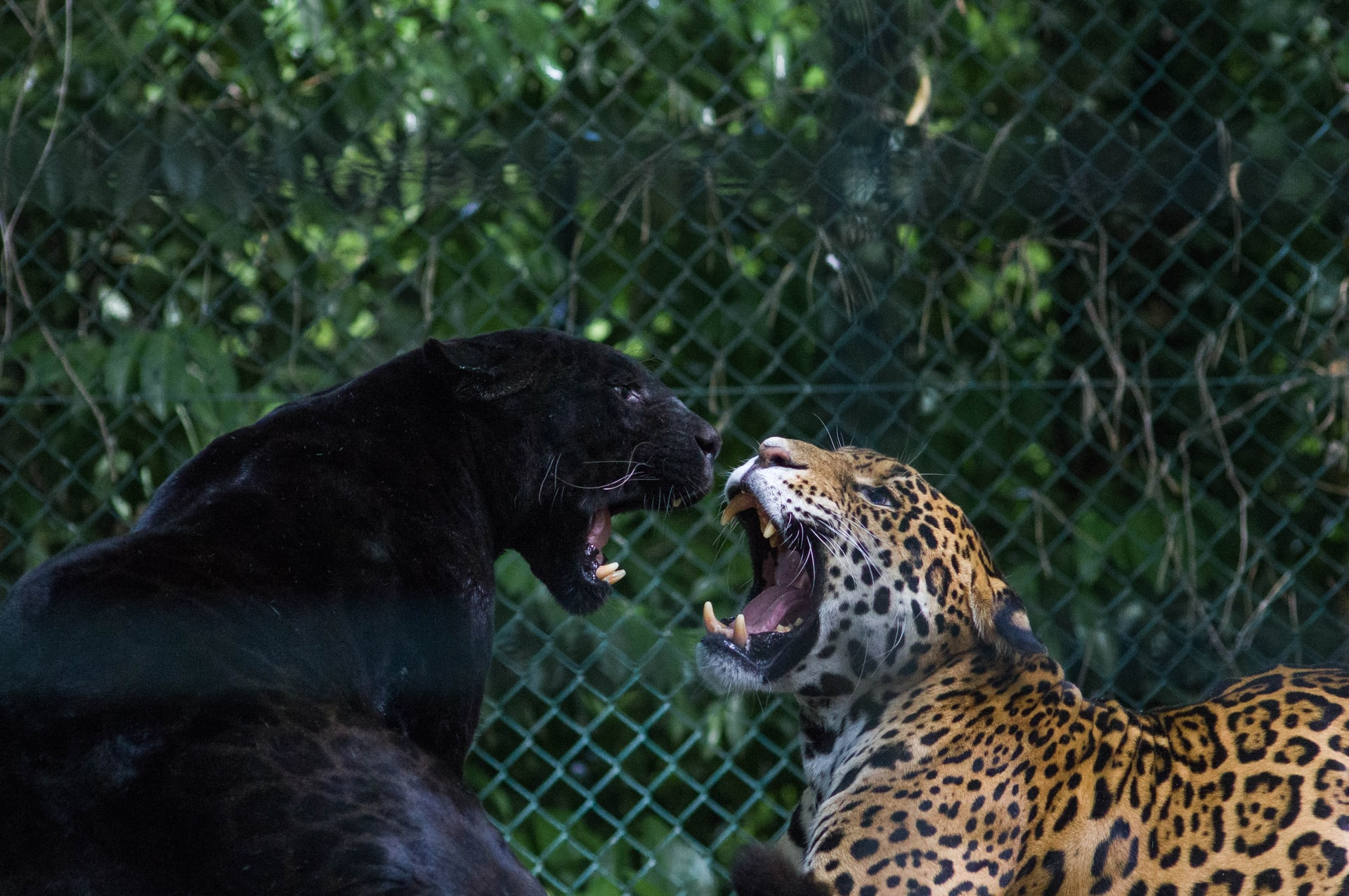Jaguar and Leopard