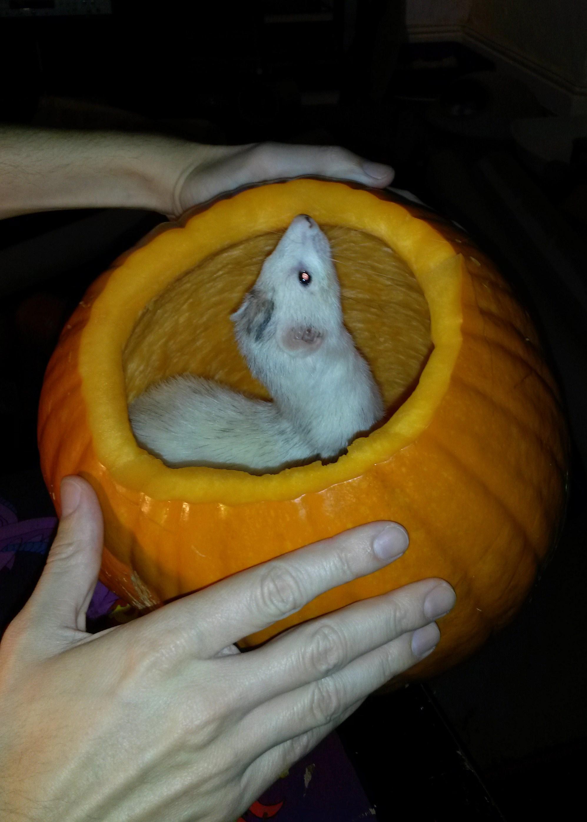 Pumpkin Ferret 2014